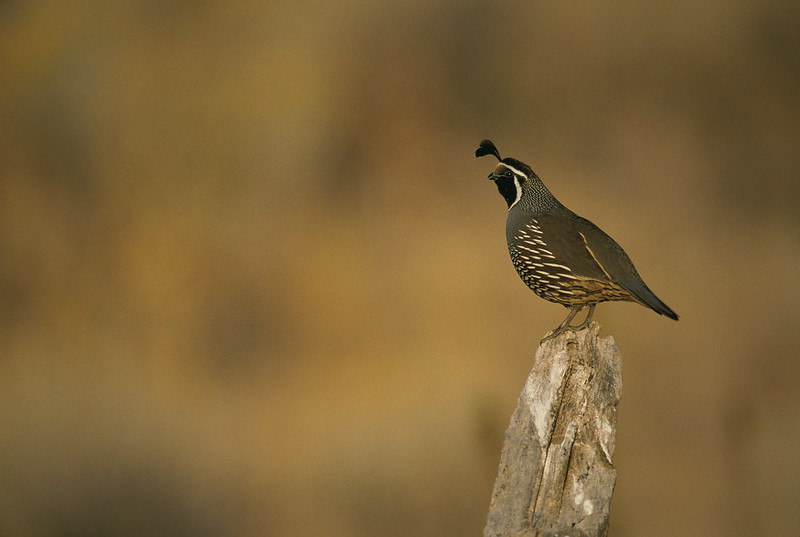 parks-ca-biodiversity-wildlife-quail